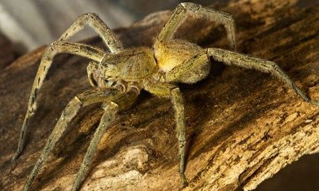 Venomous spider found in Waitrose shopping 'beautiful but aggressive'  |  While most spiders scurry away when confronted, the Brazilian wandering spider stands its ground, says David Clarke of London Zoo