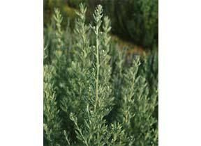 Mountain Rose Herbs: Wormwood Woody perennial. Sow in fall or early spring. Prefers full sun and dry like conditions. A useful tea made from the leaves will help rid the GI tract of parasites, and was the traditional ingredient for absinthe.