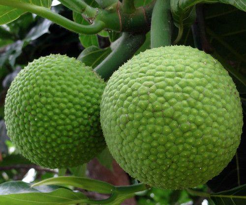 "Breadfruit Tree - Artocarpus altilis - 6"""" Pot - Tropical Fruit - Indoors or Out"