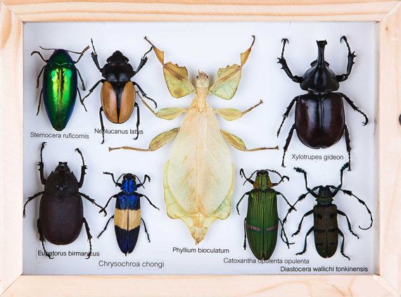 small collection of mounted tropical insects setsi01 by bugsdirect 6499