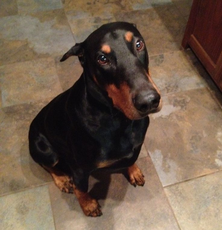 the 25 best doberman love ideas on pinterest doberman