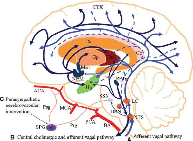 Figure 1 Schematic representation of a parasagittal section of the human brain, showing the neuroanatomical projections involved in parasympathetic nervous system activation for neuroprotection. ( A ) Afferent vagus nerve pathway (represented by deep blue color ): Afferent vagus nerve neurons synapse bilaterally on the nucleus tractus solitarius (NTS) in the medulla oblongata. The NTS makes projections to various brain structures including the locus coeruleus (LC), which is the main source…