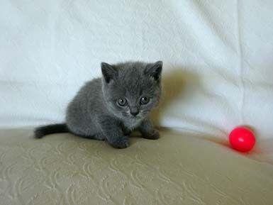 British shorthair cat breeders wa