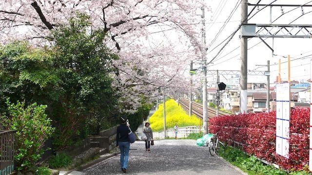 井の頭線池ノ上駅あたり。春になると桜と菜の花が美しい。井の頭線のおすすめスポット