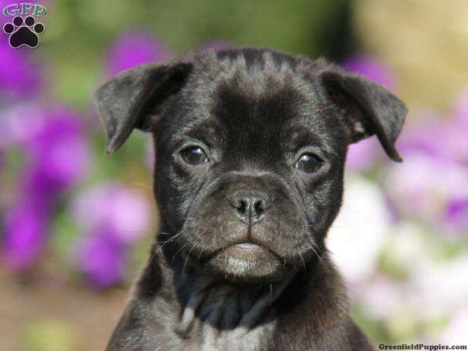 Pug Pitbull Mix Black Pug Pomeranian Mix A Pug Animals