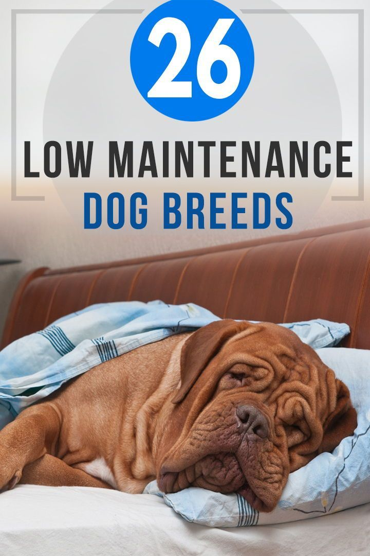 26 Low Maintenance Dog Breeds Best For First Time Owners Low Maintenance Dog Breeds Family Dogs Breeds Dog Breeds