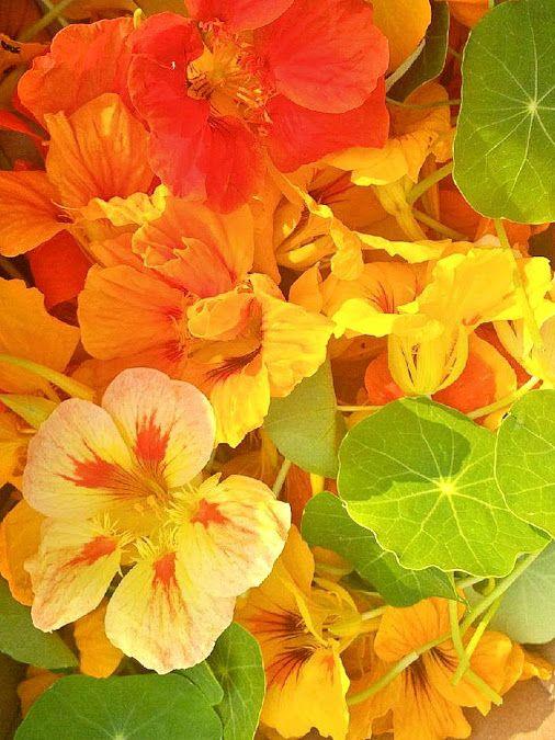 "Nasturtium Flower ""Tropaeolum"""