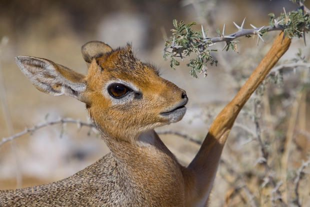 9 Fun Facts About the Dik-Dik | Mental Floss