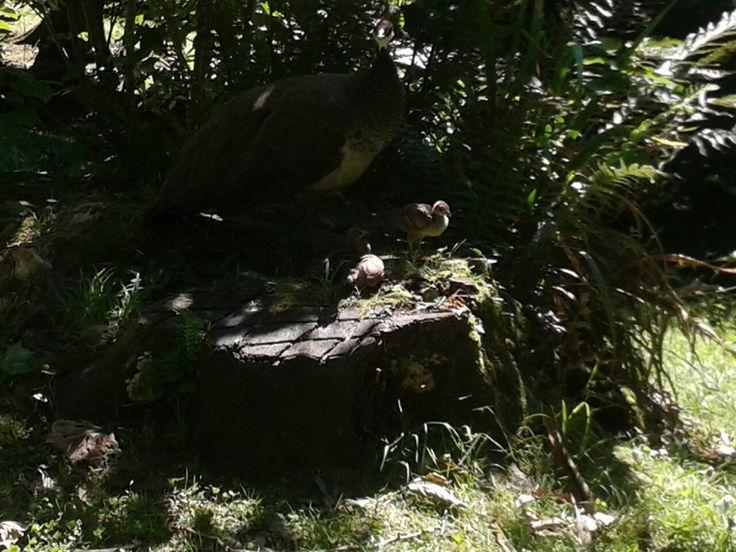 Pavo Real hembra, con sus crías tomando el frescor de una tarde de verano en el Cristina Enea♡