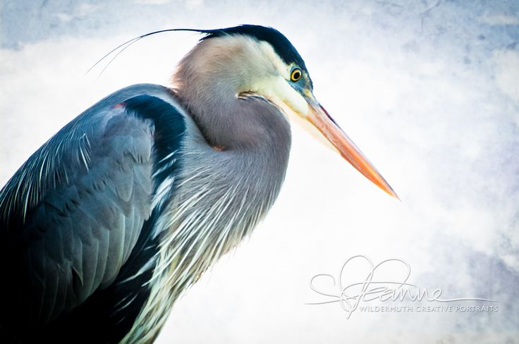 Great Blue Heron - Leanne Wildermuth Creative Portraits - One-stop ...