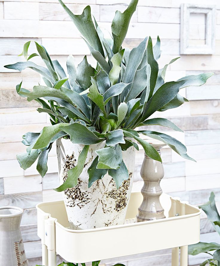 Staghorn plant (Platycerium bifurcatum)