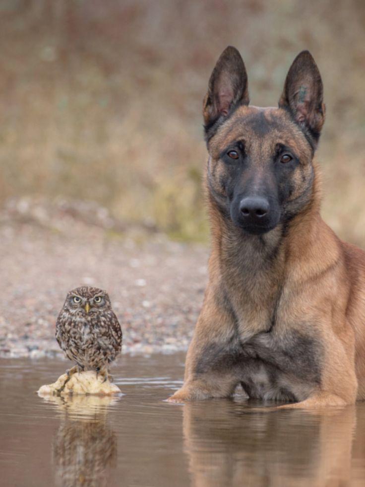 un buho y un perro mezcla de pastor aleman