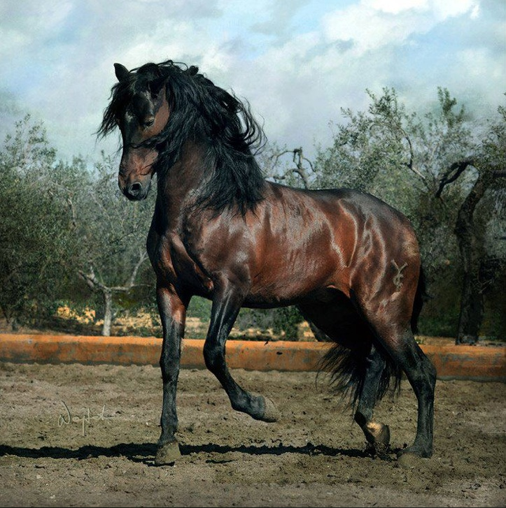 Andalusian  The Andalusian was first recognized as an individual breed in the 15th century and has changed very little of hundreds of years of selective breeding…magnificent!