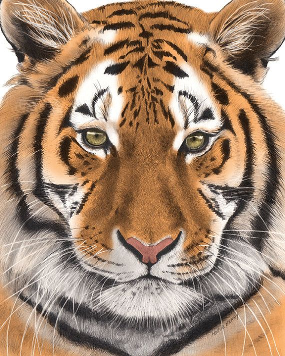 Tiger Pencil Drawing Colored 8x10 Fine Art Print by