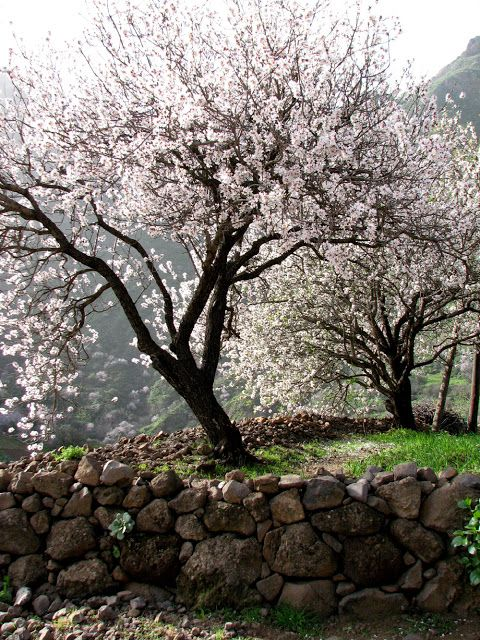 Cherry trees in Gran Canaria, Spain.