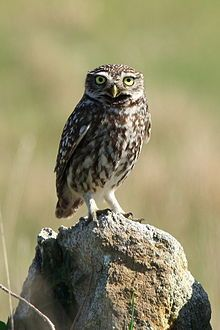 Little Owl (that's its real name!)