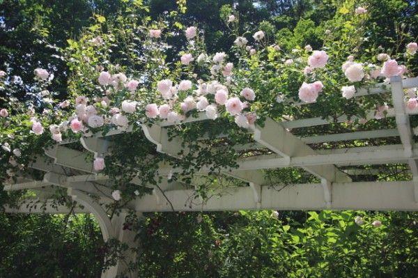 1.- Los rosales trepadores son todo un clásico. Nada mejor para crear un espacio romántico, exclusivo y acogedor.