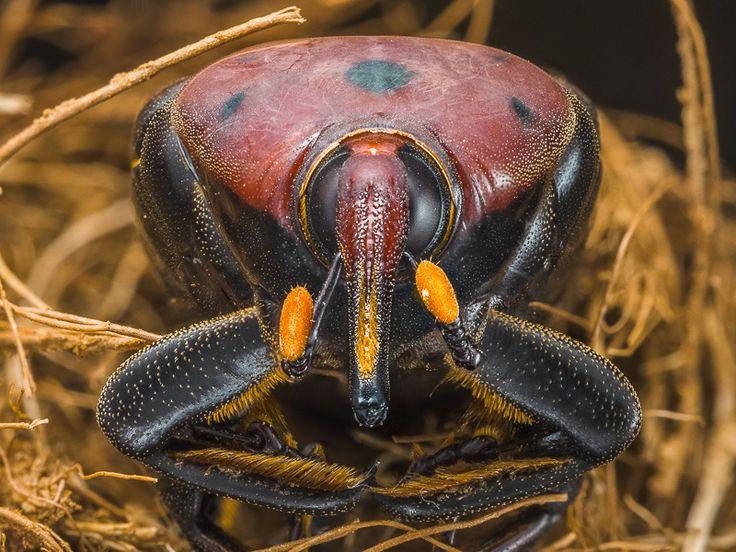 Rhynchophorus ferrugineus by Raúl Tijera on 500px