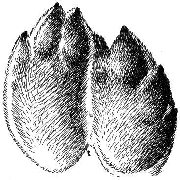 Отпечатки передних лап крупного беляка, сидевшего на неглубоком влажном снегу (е. в.)