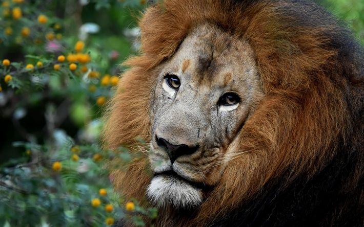 Download wallpapers lion, Africa, predator, wildlife, safari, big lion
