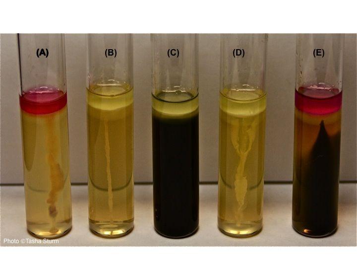 Sulfur-indole-motility results for: (A) E coli: Motile ...