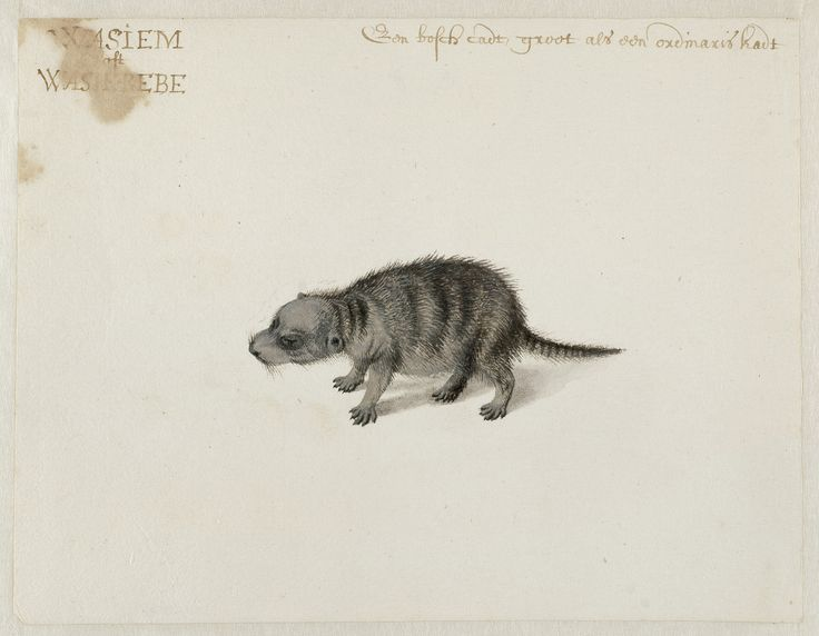 Crab-eating Raccoon, Frans Post (1612–1680), watercolor and gouache, with pen and black ink, over graphite, c. 1638–44, Noord-Hollands Archief, Haarlem