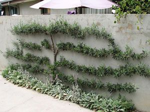 112 best FormowaneTopiary images on Pinterest Garden ideas
