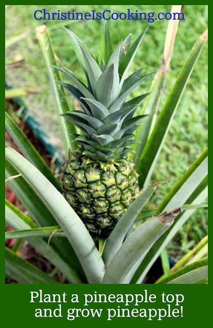 40 best hawaiian fruits images on pinterest plants for How to plant a pineapple top in a pot
