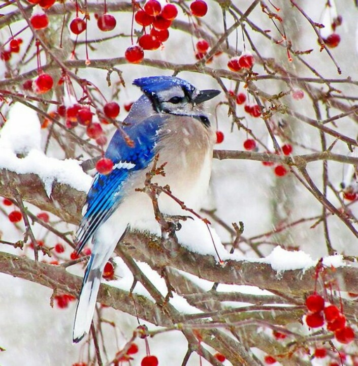 Blue Jay In Winter Berries Mother Nature Pinterest Blue Jay Jay And Berries