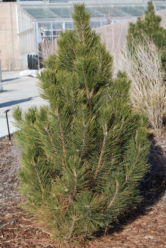 Arnold Sentinel Austrian Pine  This variety of Austrian pine never reaches more than 25 feet in height and grows in a dense column of dark green needles. It works well in rows as a screen or as a specimen plant. It can be tolerant of drought, once established, but should be given plenty of water during establishment. 25 feet tall 7 feet wide