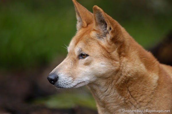 Profile view of a Dingo. Canis familiaris dingo. Australian wild dog