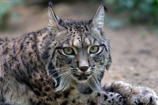 Zagrożone gatunki kotów