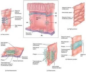 Cell junction, Basement membrane and Muscle and nerve on Pinterest
