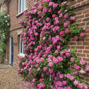 Zephirine Drouhin Rose  This is one of the best climbing plants that you can invest in. It's also thornless, which is always a plus. This rose doesn't need much sunlight, either, so you can put it in the shade and it will still blossom.
