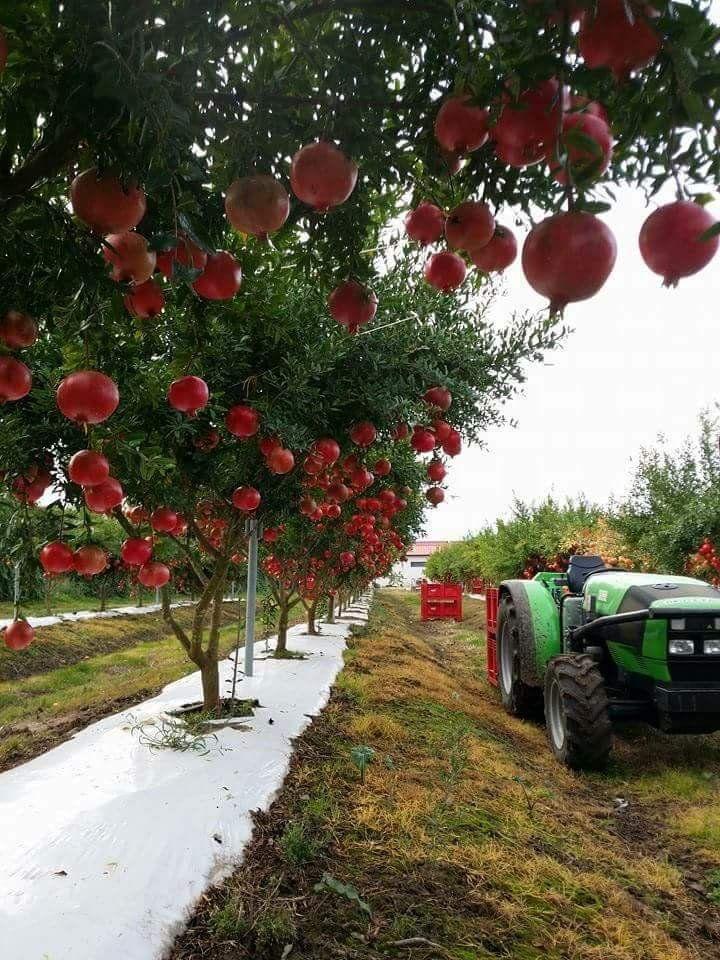 الفلاحة في الجزائر خيرات بلادي مزارع حديثة ل الرمان Best Fruits Green Fruit Fruit Trees