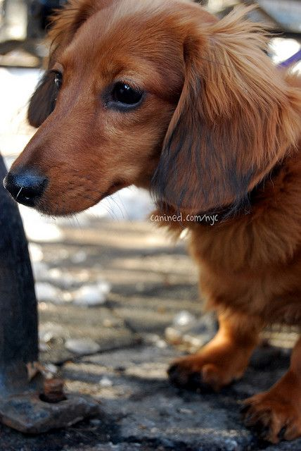 4 month old red long haired dachshund puppy downtown new york city dog walker…