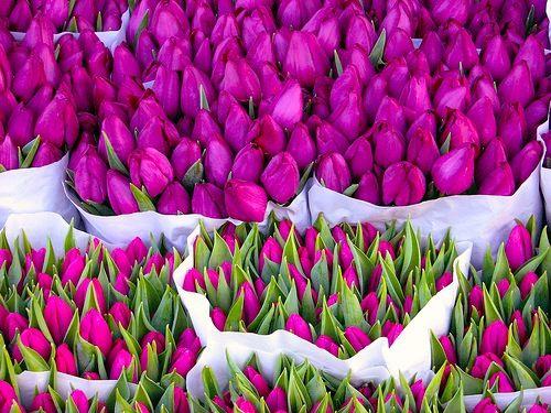 fuchsia fuchsia fuchsia: Color, Purple Tulip, Violets, Fresh Flower, Wedding Flower, Sweet Peas, Purple Flower, Fields, Pink Tulip