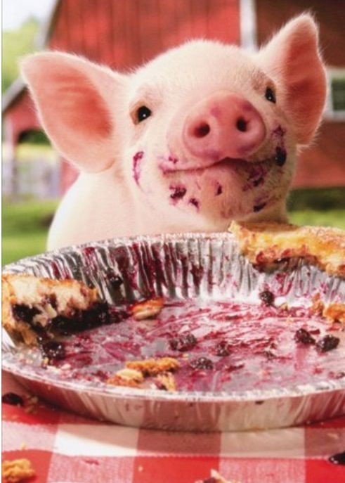 Baby pig eating cake - photo#5