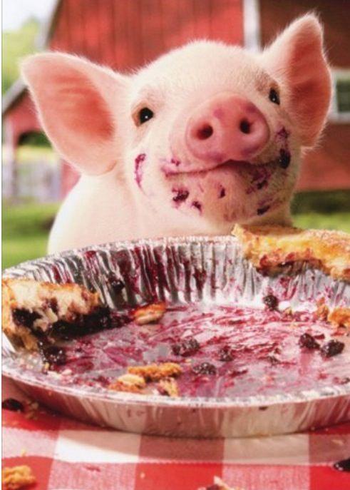 Baby pig eating cake - photo#5