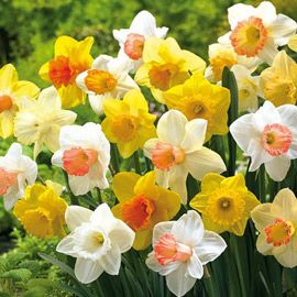Variety of daffodils