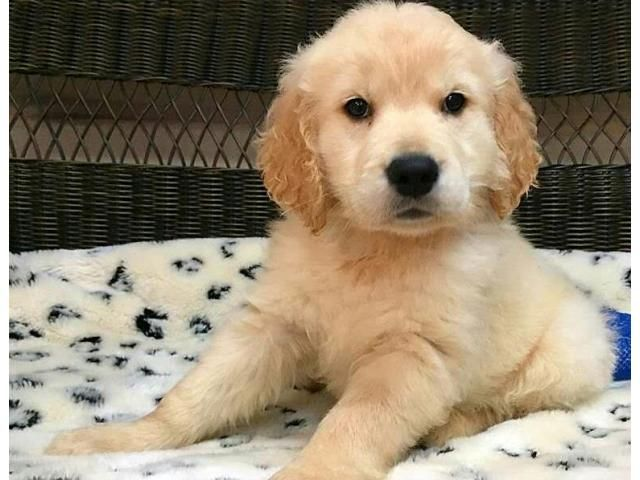 Male Female Golden Retriever Puppies For Adoption Golden