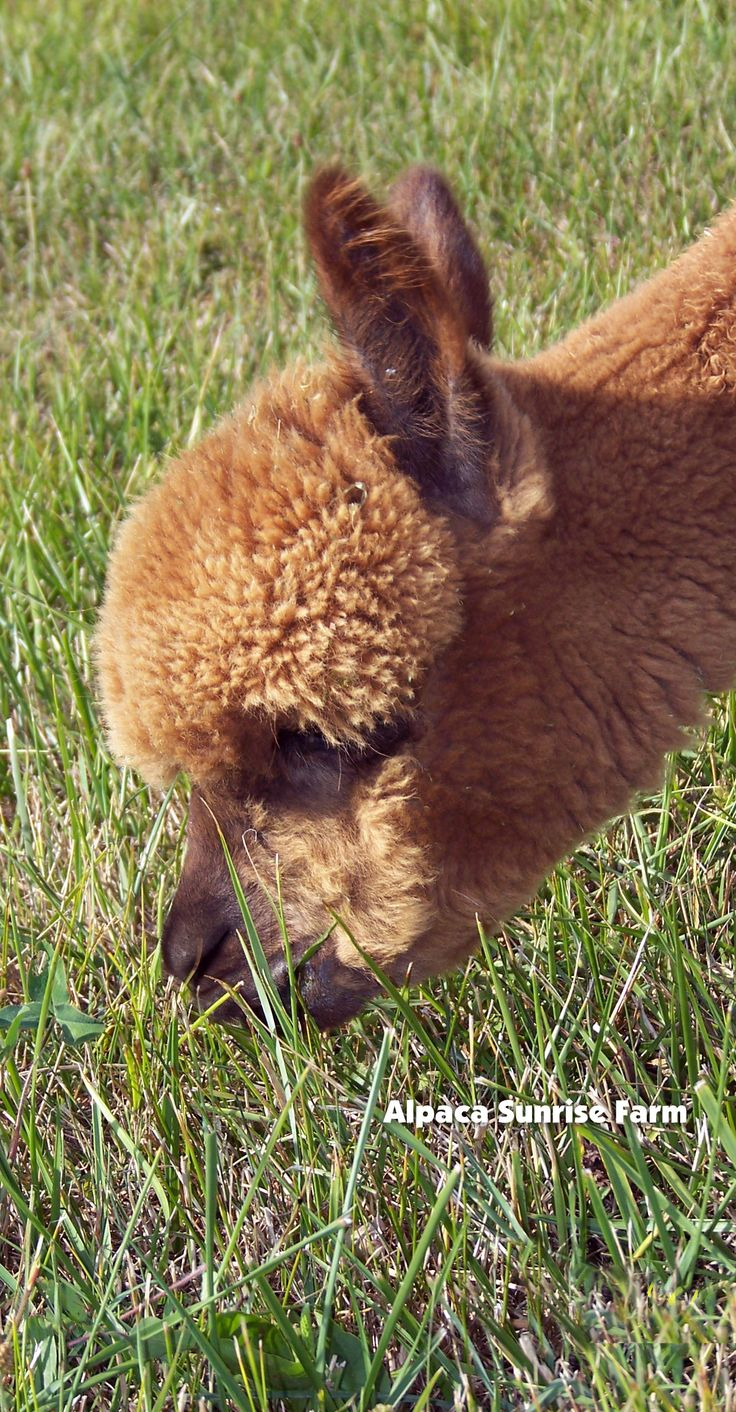 HUACAYA ALPACA. Alpaca Sunrise Farm is a full-service Alpaca farm since 1998 • Alpaca sales • breeding • boarding • Alpaca raw fiber, yarn, roving sales for knitters, crocheters, weavers and fiber artists. www.AlpacaSunrise.com #alpaca #alpacas
