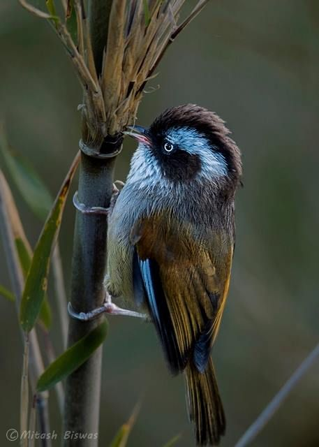 WHITE-BROWED FULVETTA (Fulvetta vinipectus)