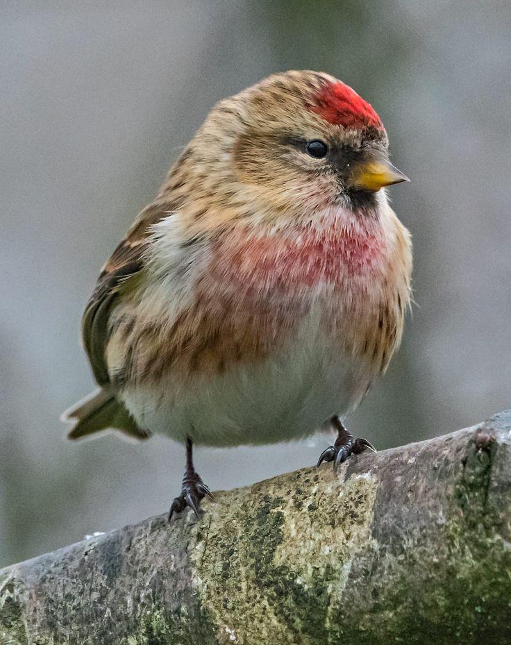 Lesser Redpoll