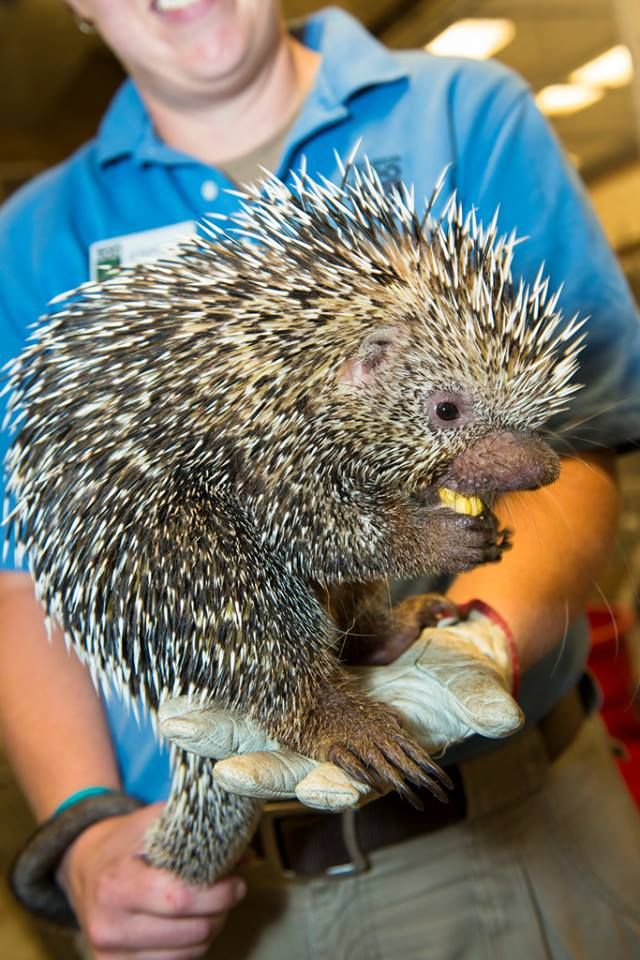 Say hello to Norman, the coendu - also known as the Brazilian porcupine. He's one of the newest additions to the Zoo and is currently in training to make appearances in McGovern Children's Zoo! http://www.pinterest.com/TakeCouponss/houston-zoo-coupons/ coupons