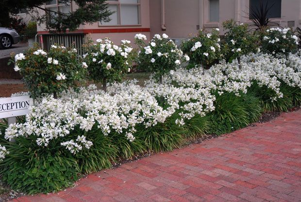 Flower Carpet White standards hover over a mass planting of Snow Storm agapanthus