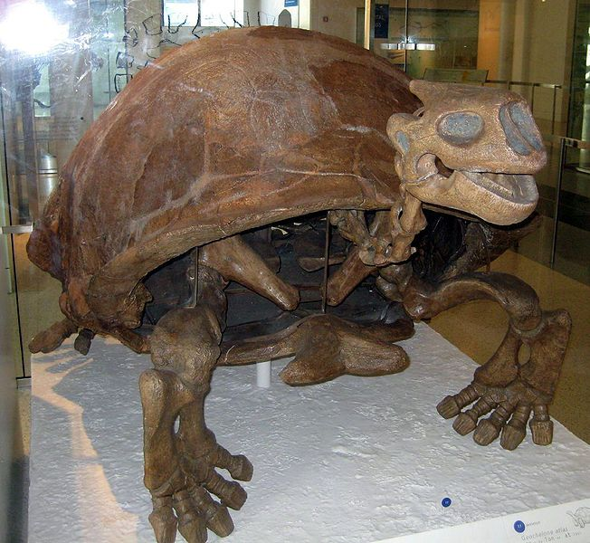 """Colossochelys atlas, American Museum of Natural History, NYC....I have taken my children's and grandchildren's pictures looking face-to-face with this big """"turtle"""""""