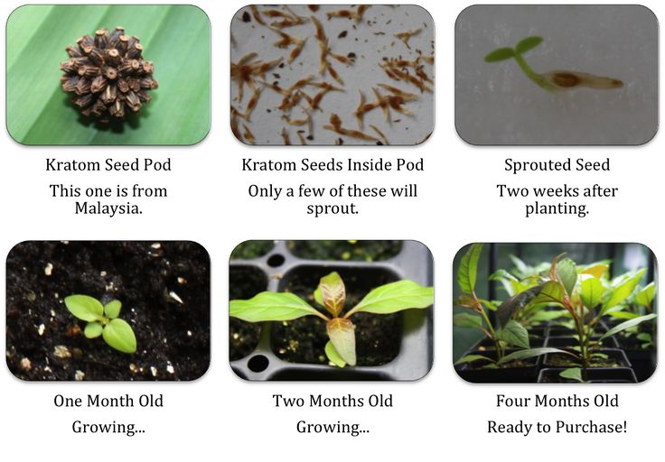 Live Kratom plants for sale grown from seed.   Kratom plants in stock December 2017.