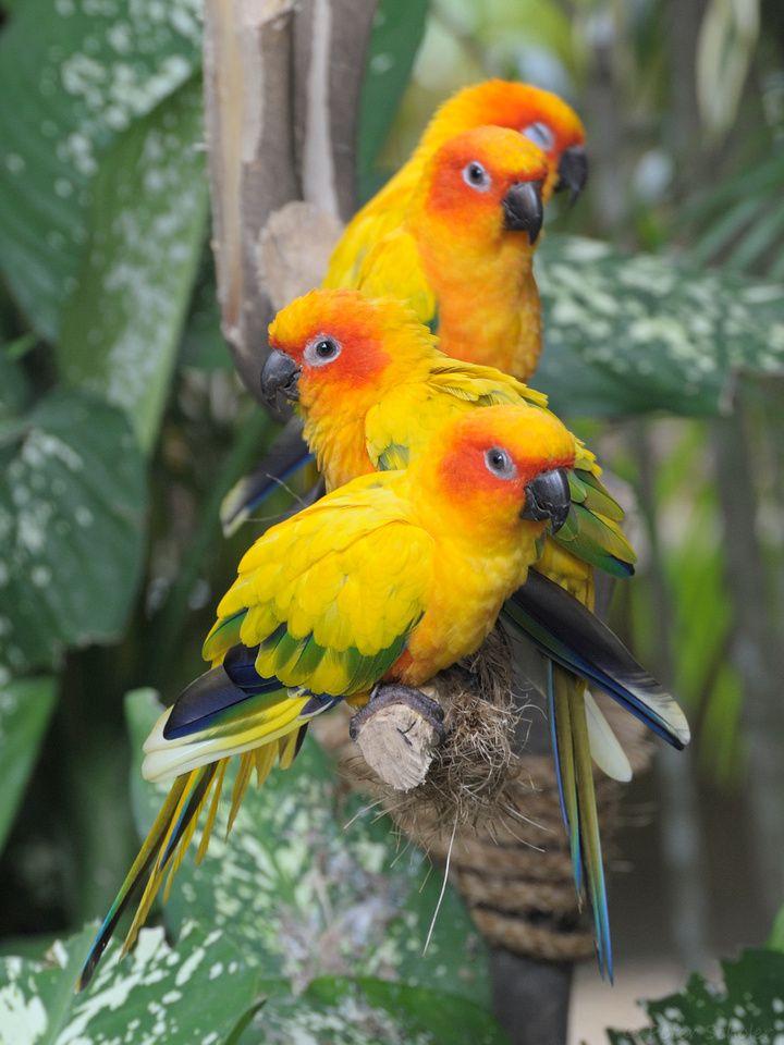 27 Best Crazy Sun Conures Amp Parrots Love My Sun Conure