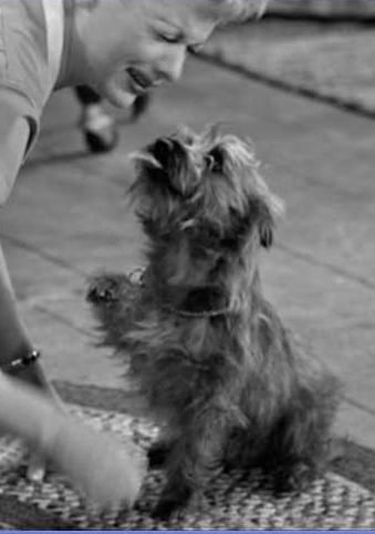 311 Best Images About Cairn Terriers On Pinterest Cairn